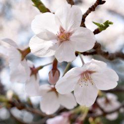 【Blog】日本人の心に響く桜のはなし